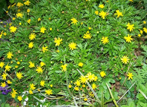 Euryops bush daisy euryops yellow bush daisy or african yellow daisy is a marvelous addition to any garden that has a well drained full sun situation this is a plant that mightylinksfo