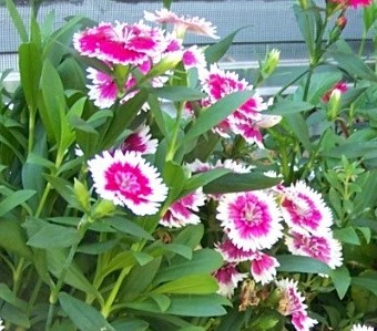 Different Type Of Sweet William Flowers