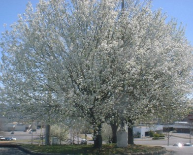 Bradford Pear is a short lived