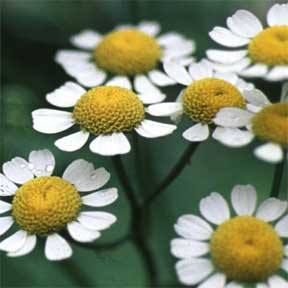 Medicinal Uses of Feverfew