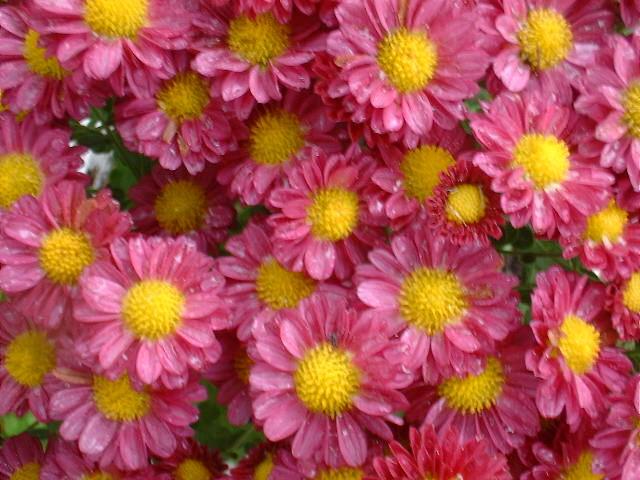 Chrysanthemum mightylinksfo