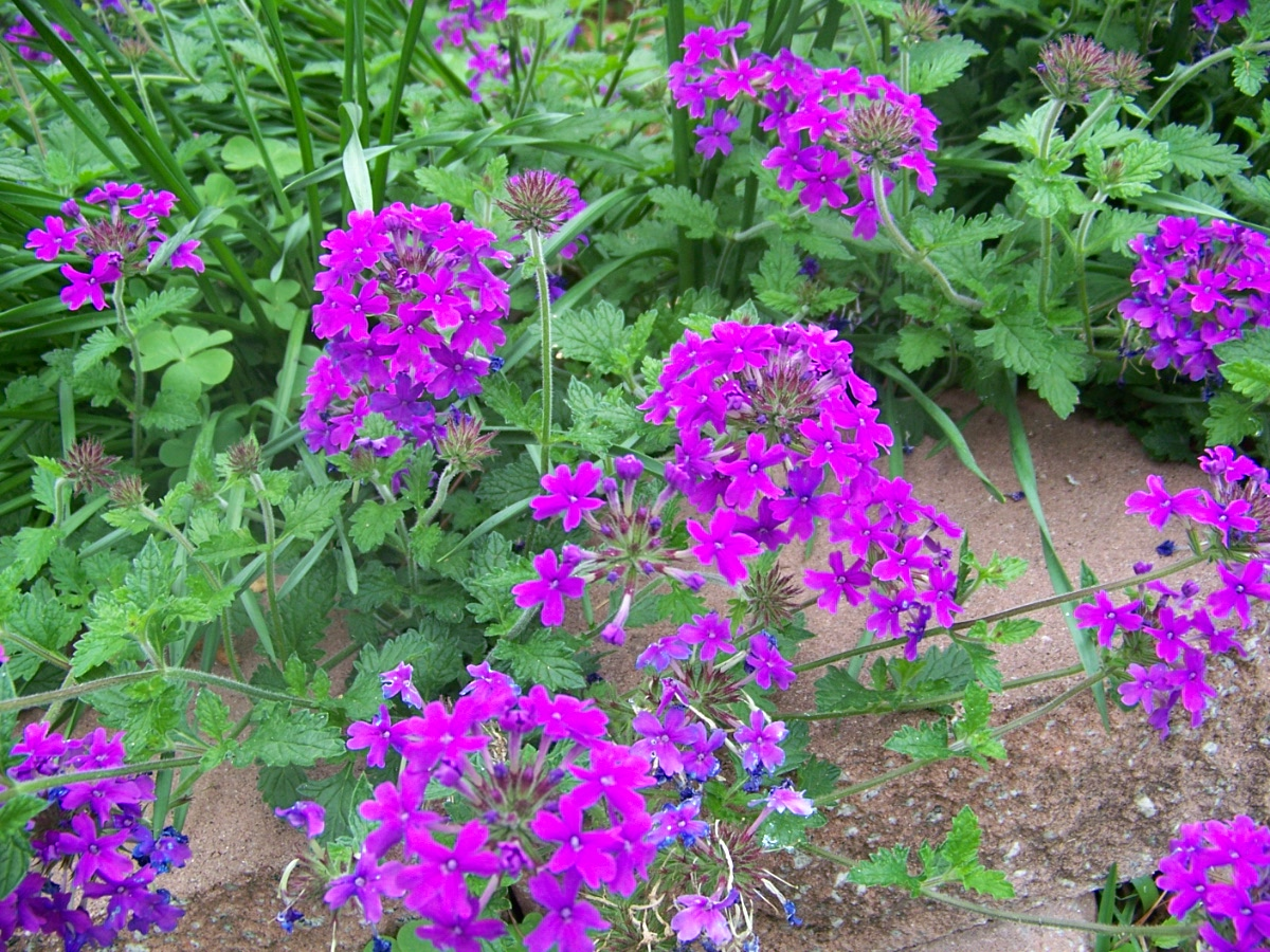 How to Grow Verbena picture