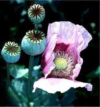 http://www.gardensablaze.com/Poppy.jpg