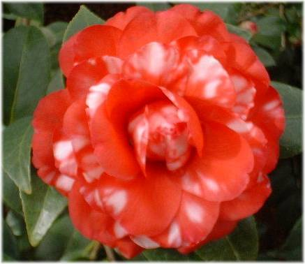 Types of Camellia Flower