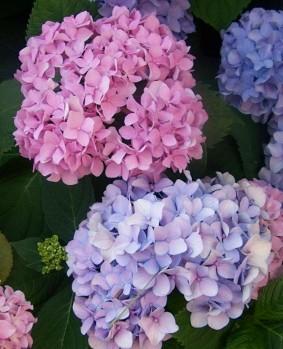 موسوعه بجميع انواع الزهور Hydrangea6